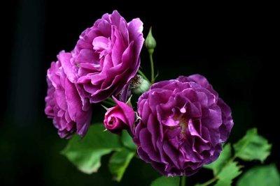 Indian Rosé & Musk parfum geurolie voor Melts & Kaarsen