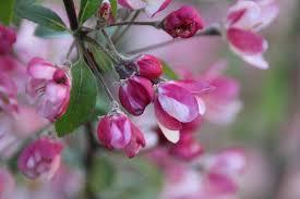 Cherry Roos parfum geurolie voor Melts en Kaarsen