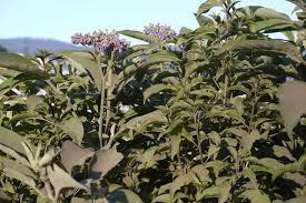 Wild Tobacco geurolie voor Melts en Kaaren