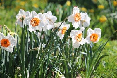 Chlowe Narcise parfum geurolie voor Kaarsen en Melts