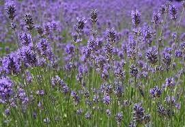 Lavendel - geurolie voor Melts, Kaarsen en Zeep