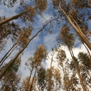 Eucalyptus - geurolie  voor kaarsen,  Melts en Zeep