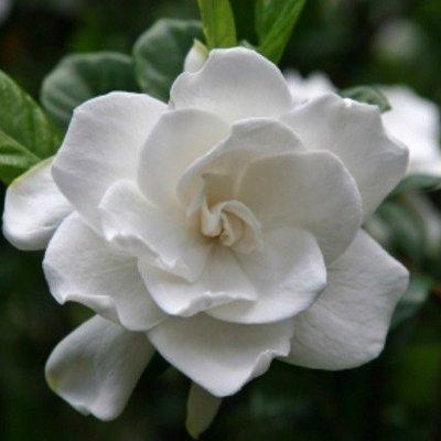 Gardenia - geurolie voor Kaarsen,  Melts en Zeep