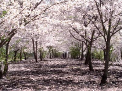 Sakura parfum geurolie voor Melts & Kaarsen