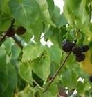 Rozenhout - geurolie  voor Melts, Kaarsen en Zeep