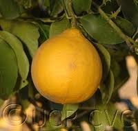 Bergamottie - geurolie voor Melts , Kaarsen en Zeep