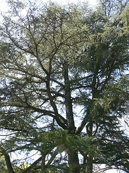 Cederhout  geurolie voor Melts, Kaarsen en Zeep