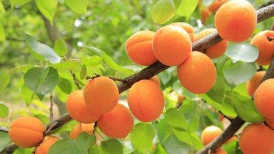 Apricot parfum geurolie voor Kaarsen en Melts