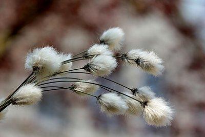 Coton De Fleur parfum geurolie voor Kaarsen en Melts