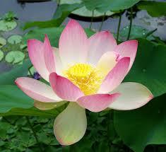 Lotus Bloem parfum geurolie voor Melts en Kaarsen