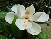 Magnolia  parfum geurolie voor Melts , Kaarsen en Zeep
