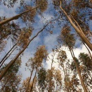 Eucalyptus Parfum Geurolie  voor Kaarsen & Melts