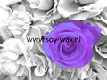 White-violet-Wasparfum-BY-soy-wax
